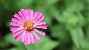 Vibrant Colourful Flower HD de Voorraadlengte van Zinnia Lilliput stock videobeelden