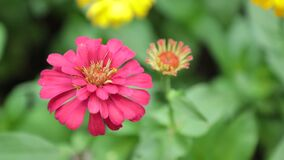 Vibrant Colourful Flowers de Voorraadlengte van Zinnia Lilliput stock video