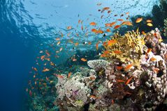 Vibrant and colourful tropical coral reef. Royalty Free Stock Images
