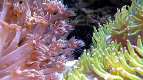 Vibrant coral in aquarium stock video footage