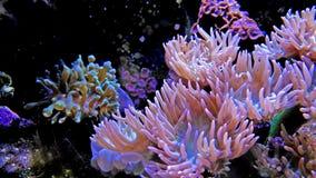 Vibrant coral in aquarium stock footage