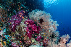 Vibrant Coral Reef Biodiversity. Vibrant soft corals and other invertebrates grow in Raja Ampat, Indonesia. This tropical region is known for its extraordinary royalty free stock photo