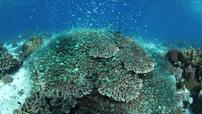 Vibrant Coral Reef and Blue-Green Damselfish. Blue-green damselfish swim over a beautiful coral reef in Indonesia. This part of the world harbors an stock video