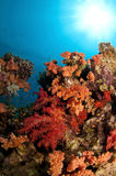 Vibrant coral reef with bright reds and oranges Royalty Free Stock Photo