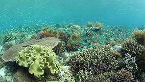 Vibrant Coral Reef and Fish in Indonesia. Colorful Blue-green damselfish swim above a coral reef in Indonesia stock video footage