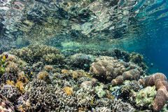 Vibrant Coral Reef in Tropical Pacific Ocean Royalty Free Stock Photos