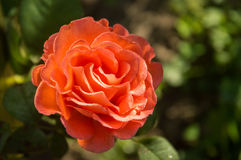 Vibrant coral rose covered with dew Royalty Free Stock Photos