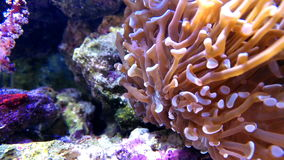 Vibrant coral in tank stock video footage