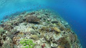 Vibrant Corals and Fish in Alor, Indonesia. Colorful reef fish swim above a vibrant coral reef near Alor, Indonesia. This tropical region, part of the Coral stock video footage