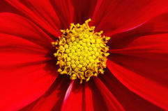 Vibrant Cosmos. Close up of a beautiful and vibrant red cosmos flower stock image