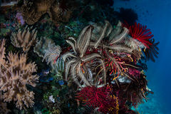 Vibrant Crinoids and Invertebrates on Pacific Reef Royalty Free Stock Images