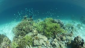 Vibrant Damselfish Swim Above Fragile Corals. A variety of fish, including damselfish, swim above a healthy coral reef in Raja Ampat, Indonesia. This remote stock video