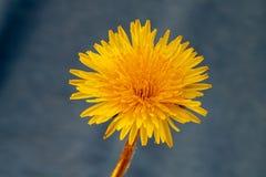 Vibrant dandelion flower. In bloom royalty free stock image