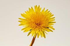 Vibrant dandelion flower. Vibrant dandelion wild flower Taraxacum royalty free stock photo