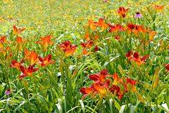 Vibrant Daylilies Royalty Free Stock Photography