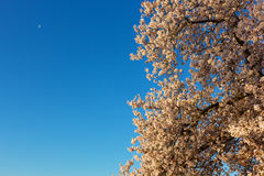 Vibrant display of blossoming cherry tree in the morning. Stock Photos