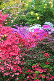 Vibrant display of purple, white and red azaleas Royalty Free Stock Photos