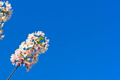 Vibrant display of white-pink blossoms on Yoshino cherry branch against a clear blue sky. Royalty Free Stock Photos