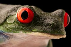 The vibrant eyes of a red eyed tree frog, Agalychnis callydrias. A beautiful night animal frogm the jungle of Costa Rica stock images