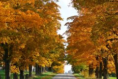 Vibrant Fall color on rows of hard Maple trees on sides of road stock photography