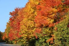 Vibrant Fall Colors on Maple Trees in Southern Ontario stock photo