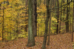 Vibrant fall colors in state forest. Royalty Free Stock Images