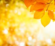 Vibrant fall foliage. Fresh yellow maple fall tree foliage background royalty free stock photo