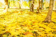 Vibrant fall foliage. Fresh yellow maple fall tree foliage on ground of park, retro toned royalty free stock photography