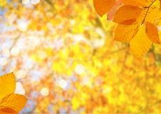 Vibrant fall foliage. Fresh yellow maple fall tree foliage on pale blue sky background royalty free stock photos