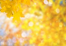 Vibrant fall foliage. Fresh yellow maple fall tree foliage on pale cloudy sky background stock photography