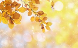 Vibrant fall foliage. Fresh yellow fall tree foliage on pale cloudy sky background stock images