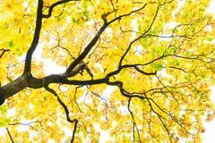 Vibrant fall foliage. Vibrant yellow maple golden fall tree foliage background Stock Photo
