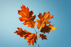 Vibrant fall leaves Royalty Free Stock Photography