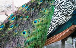 Vibrant feathers of the Indian peafowl aka Indian blue peacock. Vibrant feathers of the Indian peafowl also called the Indian blue peacock, Pavo cristatus stock photo