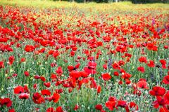 Vibrant field of red poppies and yellow flowers. Selective focus royalty free stock photo