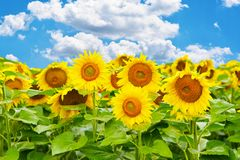 Vibrant field of sunflowers in a summer day with blue sky Stock Photos