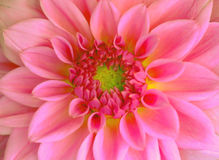 Vibrant flower Royalty Free Stock Images