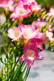 Vibrant flower bouquet of pink alstroemeria background Royalty Free Stock Photography