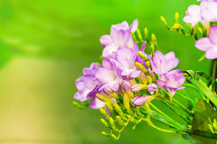 Vibrant flower bouquet of pink alstroemeria on green background Stock Images