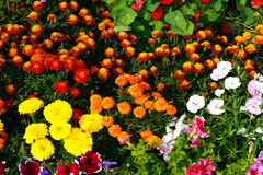 Vibrant flowers Royalty Free Stock Photos