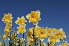Vibrant Flowers in Spring. Bright yellow and white daffodils in a garden against blue skies stock photography