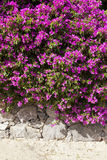 Vibrant flowers on stone wall Royalty Free Stock Photos