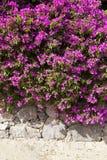 Vibrant flowers on stone wall. Vibrant purple flowers on stone wall at Fuerteventura Royalty Free Stock Photos