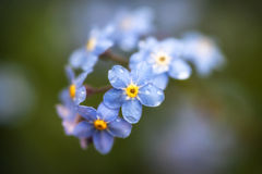 Vibrant forget-me-not Spring flowers with shallow depth of field. Beautiful forget-me-not Spring flowers with shallow depth of field Royalty Free Stock Photos