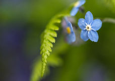 Vibrant forget-me-not Spring flowers with shallow depth of field Stock Images