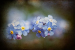 Vibrant forget-me-not Spring flowers with textured and vignette. Beautiful forget-me-not Spring flowers with textured and vignette effect added Royalty Free Stock Photos
