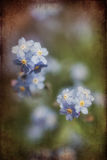 Vibrant forget-me-not Spring flowers with textured and vignette. Beautiful forget-me-not Spring flowers with textured and vignette effect added Royalty Free Stock Photography