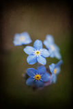 Vibrant forget-me-not Spring flowers with textured and vignette Stock Photography