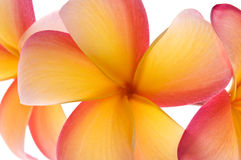 Vibrant frangipani flowers Royalty Free Stock Photo