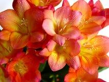 Vibrant freesia flowers royalty free stock image